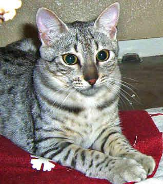 Adopt A Somali Cat Uk